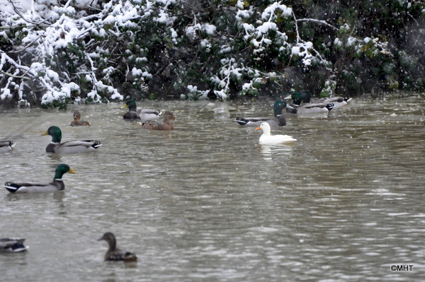 ducks_not_frozen